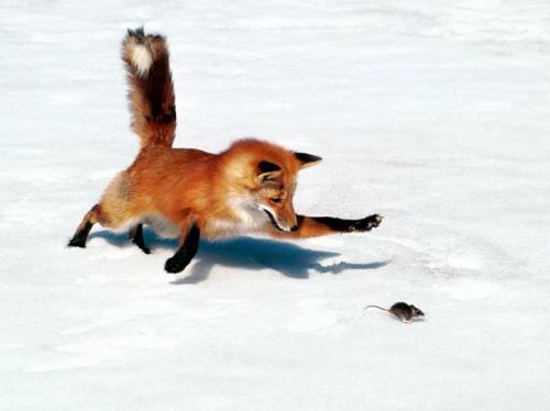 приснилось ловить лису